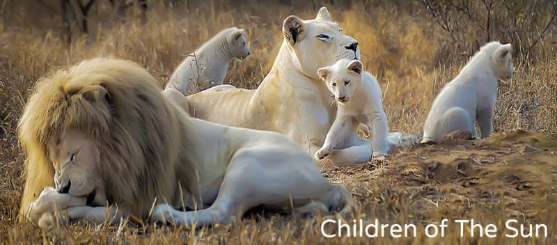 white lions at Global White Lion Protection Trust, Tambivati, South Africa